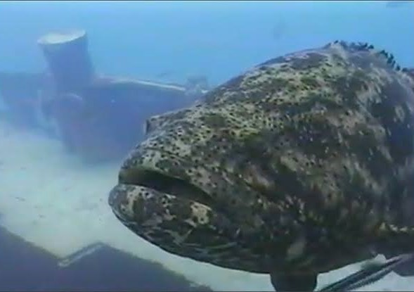 Goliath Grouper and Cayman Salvage Master Wreck - Key West, Florida