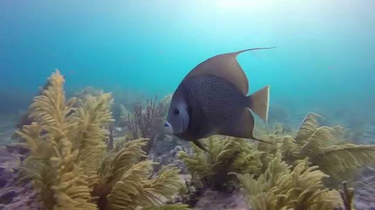 French Angelfish - Marathon, Florida Keys