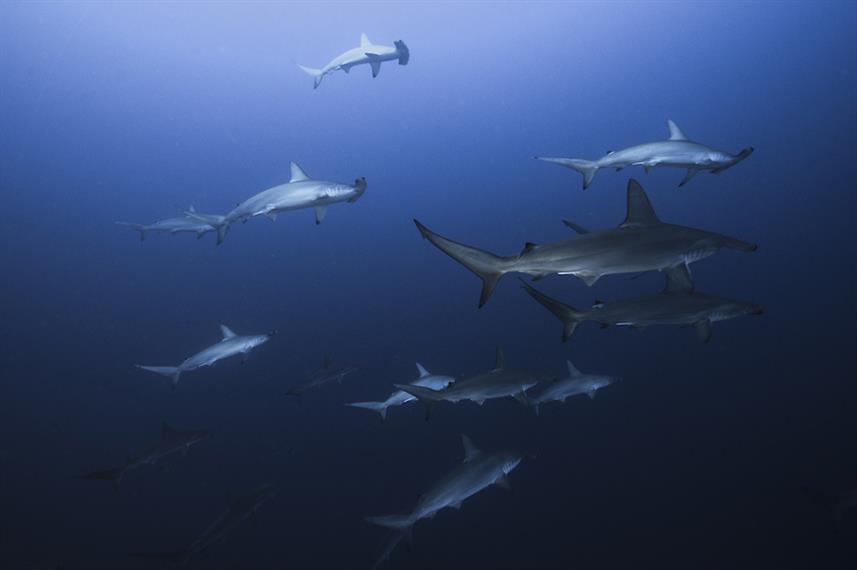 Hammerhead Sharks - Cabo San Lucas, Mexico