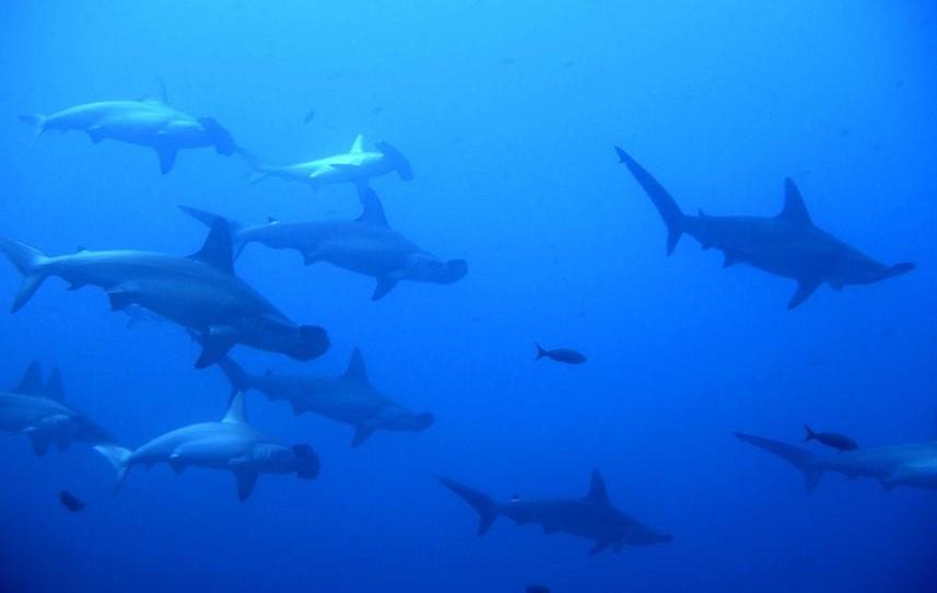 Hammerhead Sharks - Socorro Islands Liveaboard Diving