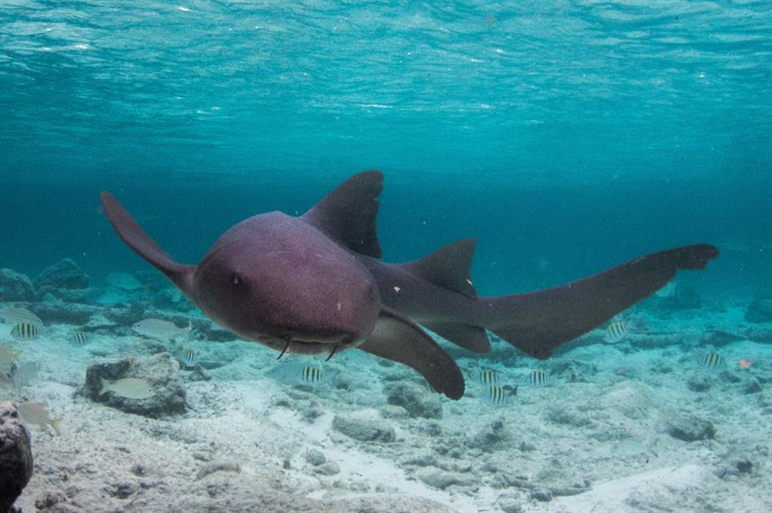 Nurse Shark - Bahamas