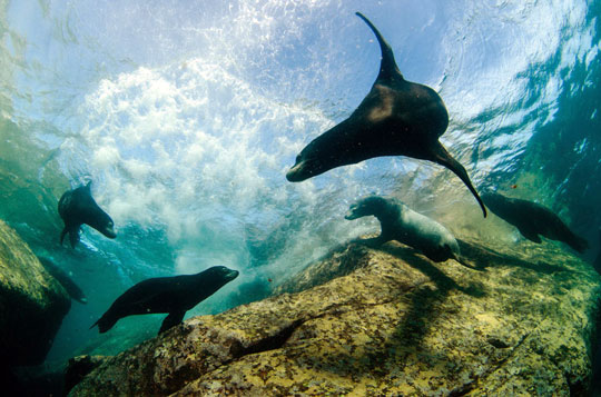 Sea Lions - Loreto, Sea of Cortez, Mexico