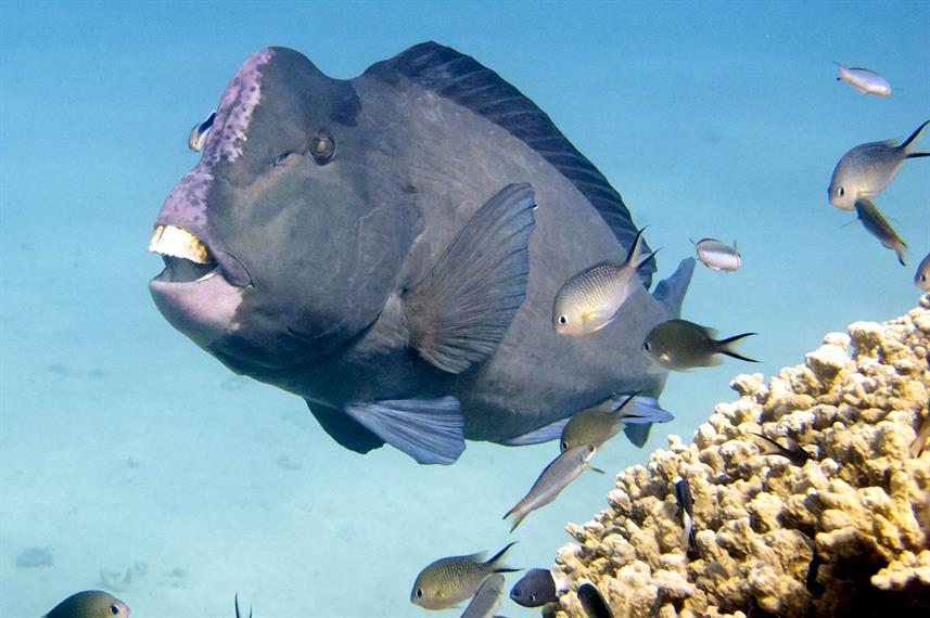 Bumphead Parrotfish - Great Barrier Reef Scuba Diving