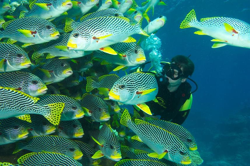 Diagonal Lined Sweetlips - Port Douglas, Great Barrier Reef Scuba Diving