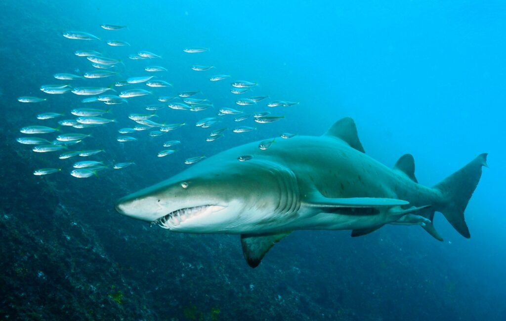 Grey Nurse Shark - Sydney, Australia