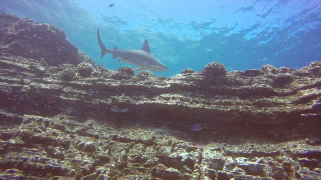 Silky Shark - Ni'ihau, Hawaiian Islands Scuba Diving