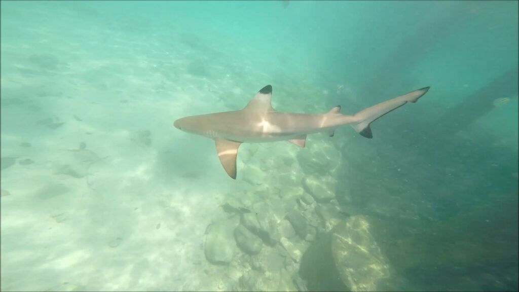 Blacktip Reef Shark - Pulau Payar Marine Park, Langkawi, Malaysia