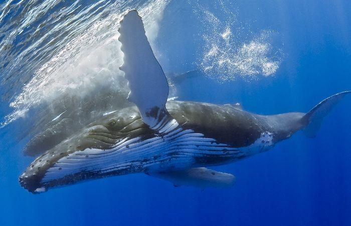 Humpback Whale - Abrolhol National Marine Park, Brazil