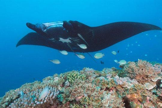 Manta Ray - Fiji