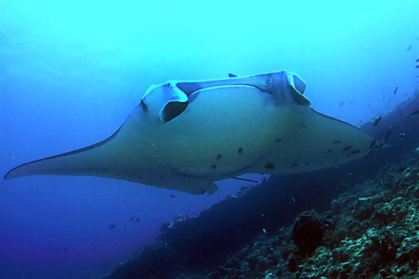 Manta Ray - Komodo Indonesia