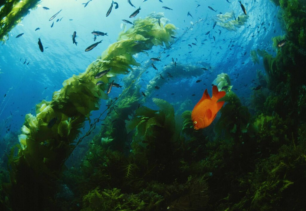Channel Islands National Park - Giant Kelp & Garibaldi