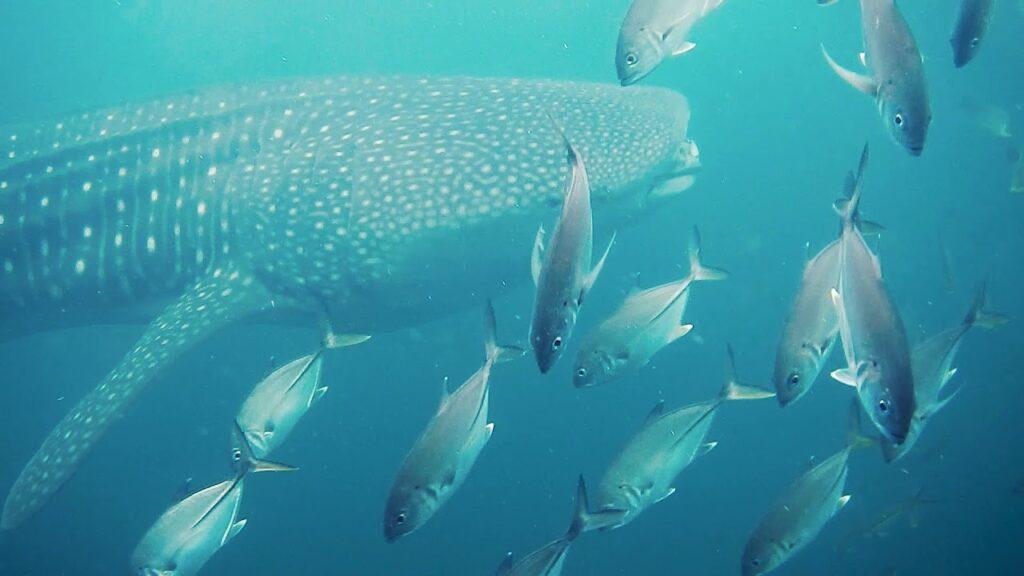 Pondicherry, India - whale shark & big-eye jacks