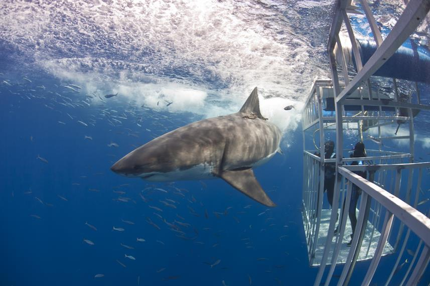 Solmar V - Guadalupe Island Shark Cage Diving