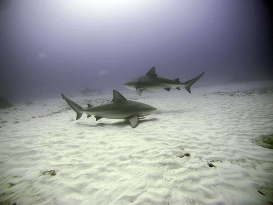 Bull Sharks - Playa del Carmen, Mexico