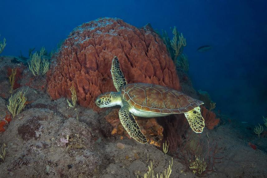 Green Turtle - St. Kitts & Nevis Scuba Diving