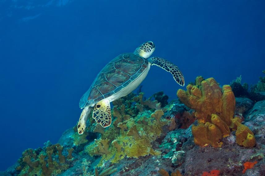 Green Turtle - Saba