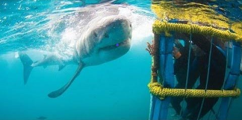 Great White Shark - Ganbaai Shark Cage Diving